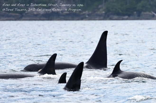 A23 and A25 matrilines in Johnstone Strait, January 14, 2016. ©Jared Towers, DFO Cetacean Research Program.