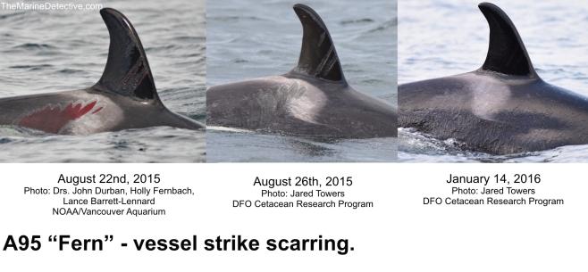 A95 vessel strike scars