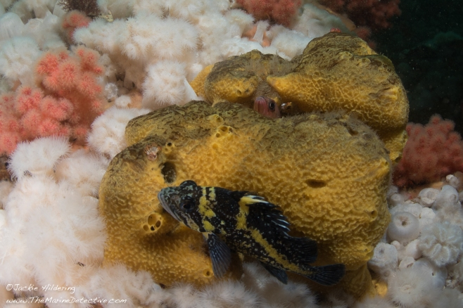 A sponge couch for these fish. ©Jackie Hildering.