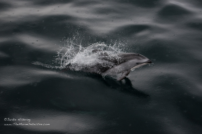 Pacific White-Sided Dolphin in the rain. ©2016 Jackie Hildering.