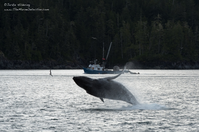 Freckles the Humpback Whale (BCY0727) breaching. ©2016 Jackie Hildering.