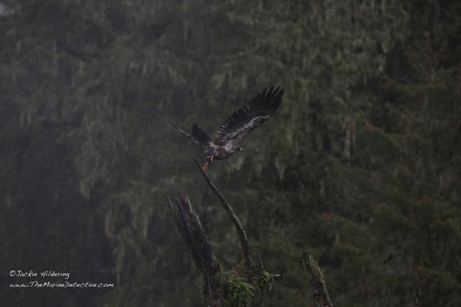 Wet juvenile Bald Eagle takes flight. ©2016 Jackie Hildering.