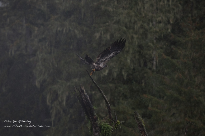 Wet juvenile Bald Eagle takes flight. ©2016 Jackie Hildering.