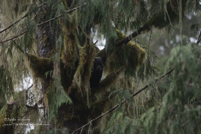 Black Bear cub with lichen draped over his/her right ear