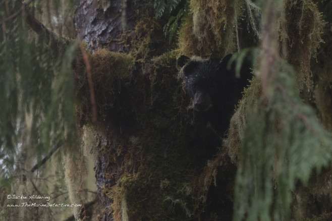 Close-up. Little Black Bear Cub peering down from moss-covered Cedar. ©2016 Jackie Hildering.