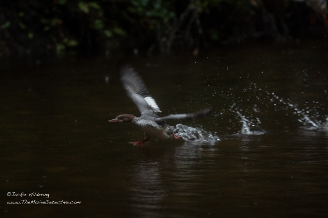 Merganser running to before flight. ©2016 Jackie Hildering.