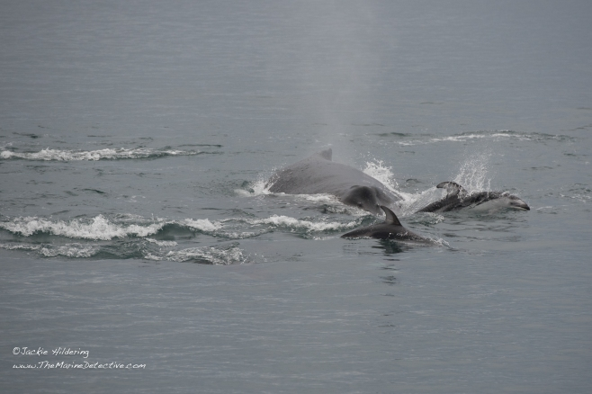 Humpback Whale being mobbed by Pacific White-Sided Dolphins. S/he was repeatedly trumpeting, presumably in exasperation. ©2016 Jackie Hildering.