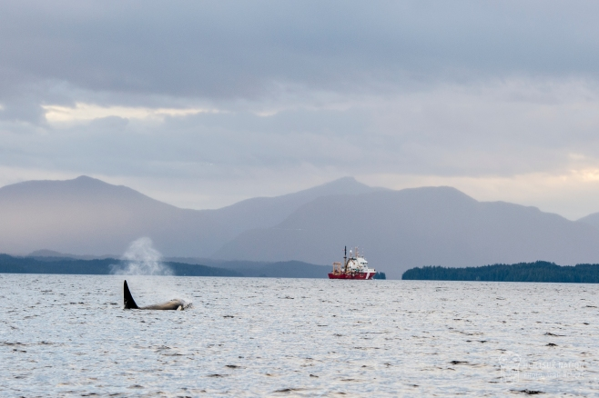 Mammal-hunting Orca T057A traveling through the area of the spill. Photo: ©April Bencze.