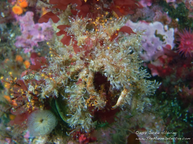 Decorator Crabs The Best Dressed In The Ne Pacific Ocean The