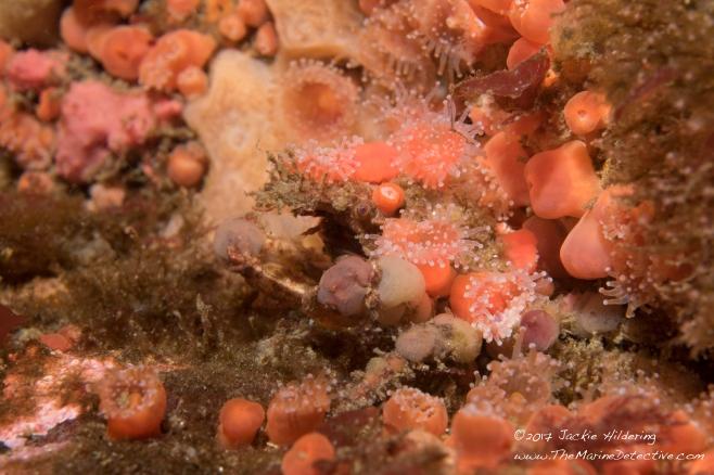 Decorator Crabs The Marine Detective